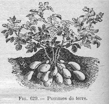 Solan es - Pomme de terre germee comestible ...